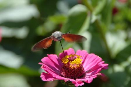 Kolibri - Taubenschwänzchen