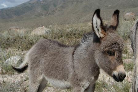 Asian Donkey