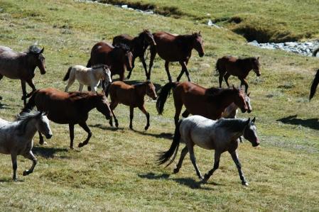 Kyrgyz Horses
