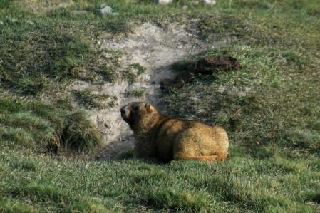 Murmeltier - Marmots