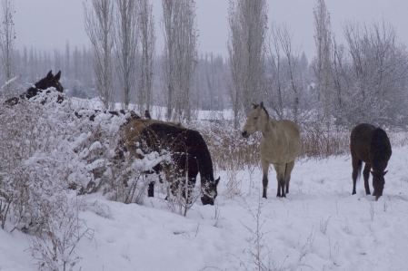 Base Camp - Kyrgyz horse