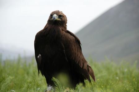 Steinadler - Golden eagle