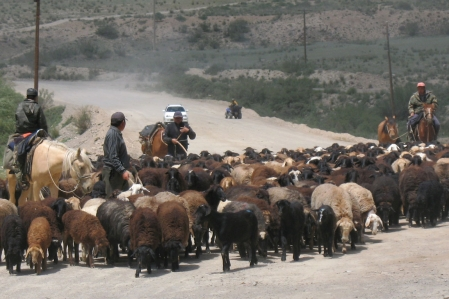 Goats - Sheep - Argali - Mountain sheep