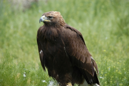Steinadler - Golden eagle