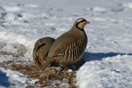 Pheasant - Chukar partridge
