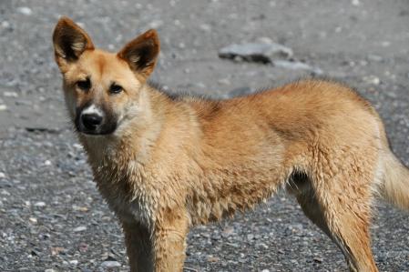 Wind dog - Taigan - House dog