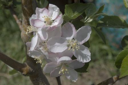 Apfelblüten - Apple blossoms